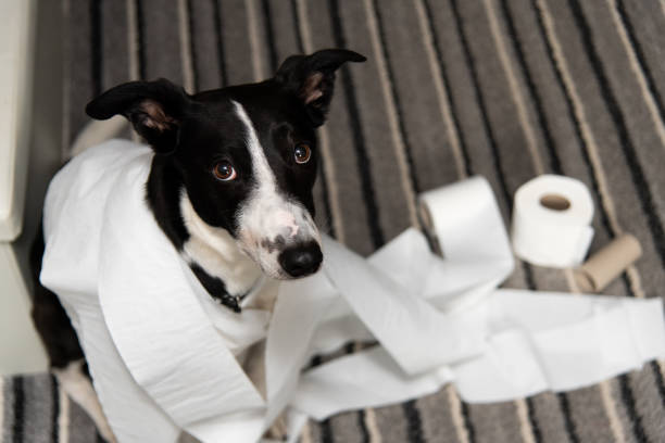 Dog ripping up Toilet roll paper stock photo