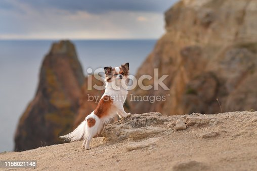 chihuahua stands sits on a rock above the sea by the ocean