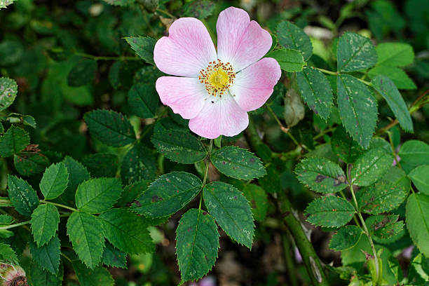 pink dog rose rosa canina compound leaves - whiteway stock photos and pictures
