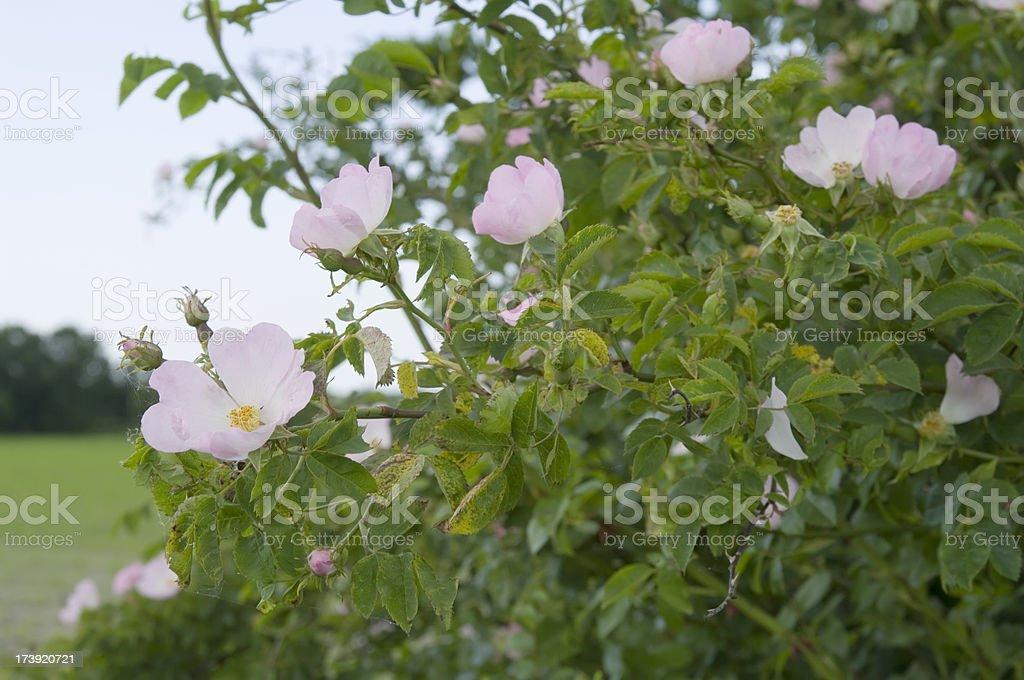 Dog Rose (Rosa canina) Flowers stock photo