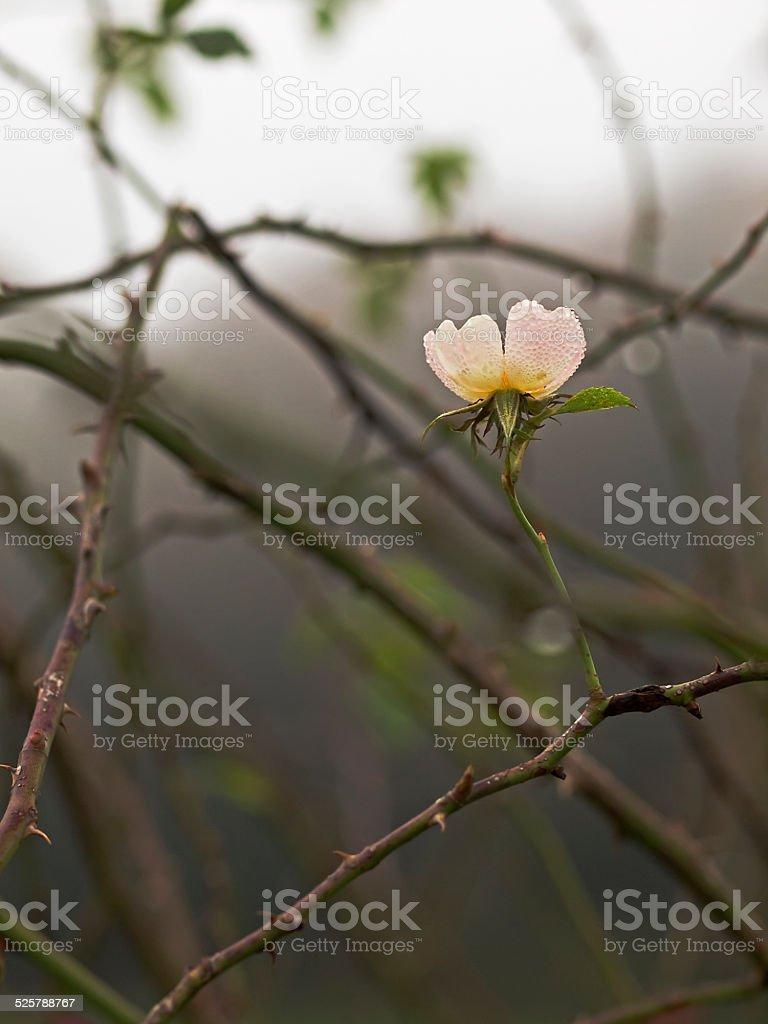 Dog rose, Hagenbutte, Hundsrose (Rosa canina) stock photo