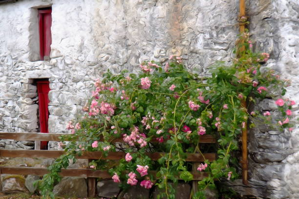 dog rose (Rosa canina) in front of a barn near Cornamona, Connemara, county Galway, Ireland dog rose stock pictures, royalty-free photos & images