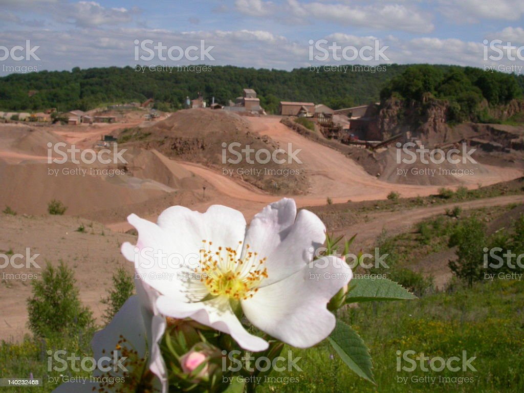 Dog Rose in Quarry royalty-free stock photo