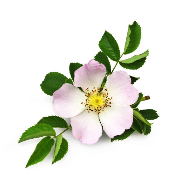 Dog rose isolated on white background Dog rose isolated on white background dog rose stock pictures, royalty-free photos & images