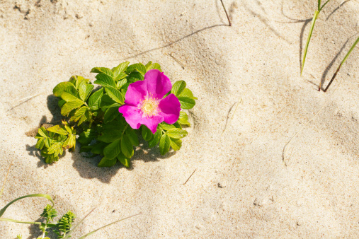 Dog rose on a beach