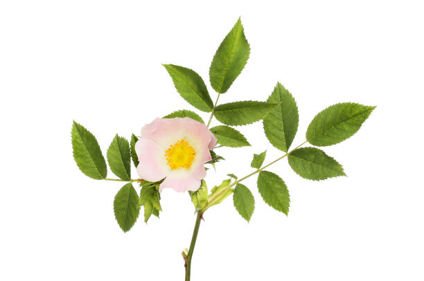 Dog rose Dog rose, Rosa canina, flower and foliage isolated against white dog rose stock pictures, royalty-free photos & images