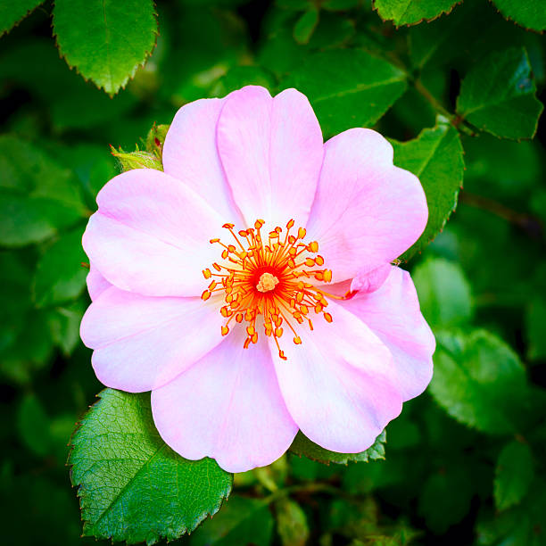 dog rose rosehip flower outdoors  dog rose stock pictures, royalty-free photos & images
