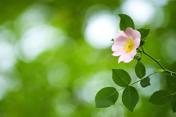 Dog rose. Close-up flower. (shallow depth of field) wild rose stock pictures, royalty-free photos & images