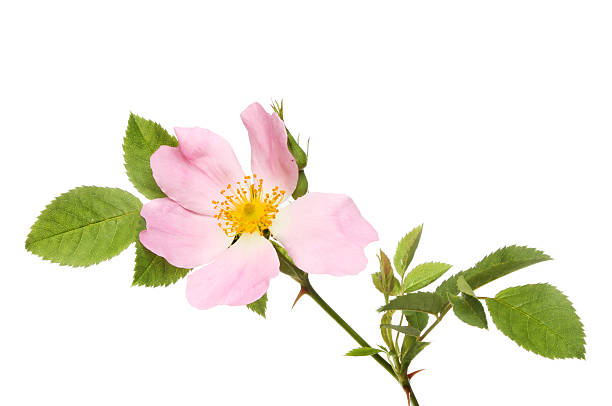 Dog rose Dog rose, Rosa canina, flower and foliage isolated against white wild rose stock pictures, royalty-free photos & images