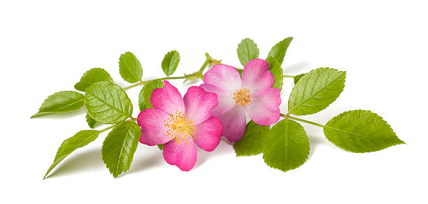 Dog rose Dog rose (Rosa canina) flowers on a white background wild rose stock pictures, royalty-free photos & images