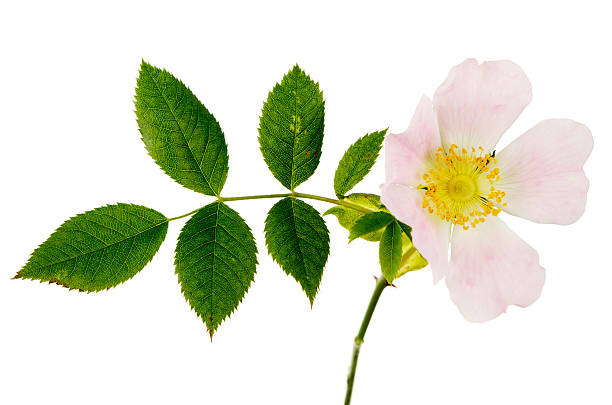 Dog Rose Rosa Canina And Foliage Dog Rose (Rosa canina) and foliage. Isolated on white. dog rose stock pictures, royalty-free photos & images