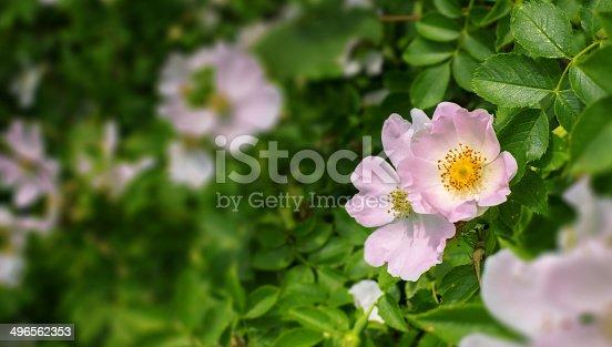dog rose - shallow DOF