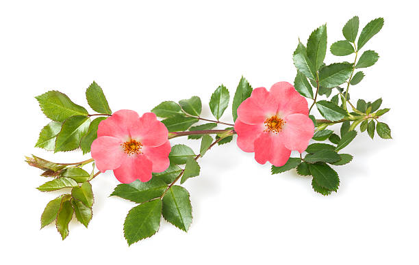 Dog roses Dog rose branch isolated on white background wild rose stock pictures, royalty-free photos & images