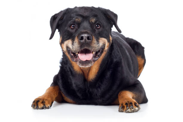 Dog Rottweiler lies out frontally with tongue and looks intently Hund Rottweiler liegt frontal mit Zunge raus und guckt aufmerksam zähne stock pictures, royalty-free photos & images