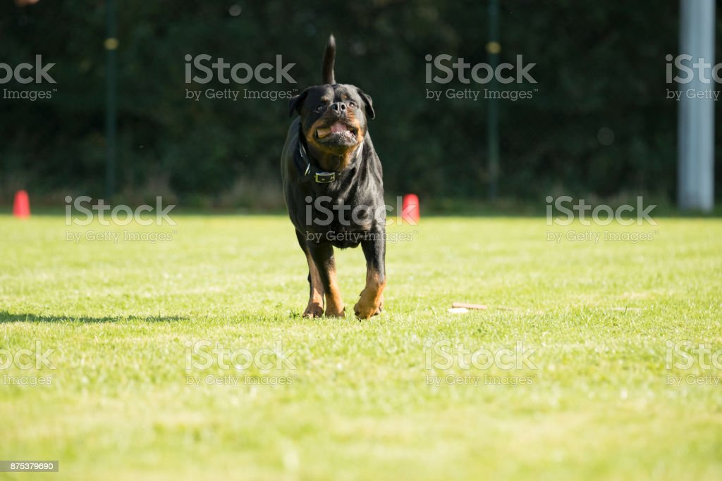 Dog, Rottweiler, running with a sorting stick is his mouth stock photo
