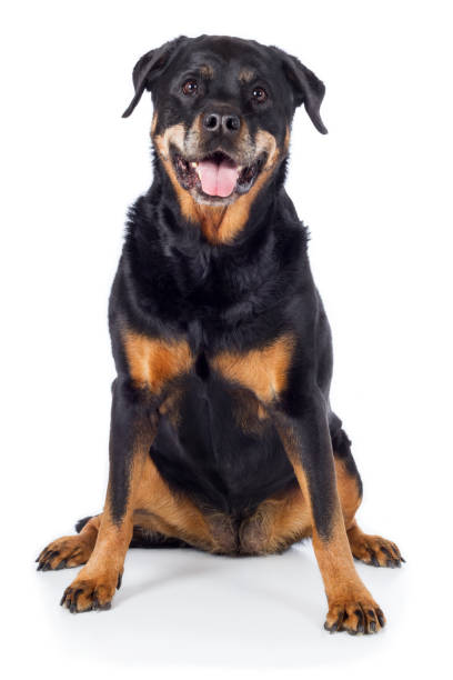 Dog Rottweiler sits frontally with tongue out and looks intently Hund Rottweiler sitzt frontal mit Zunge raus und guckt aufmerksam zähne stock pictures, royalty-free photos & images