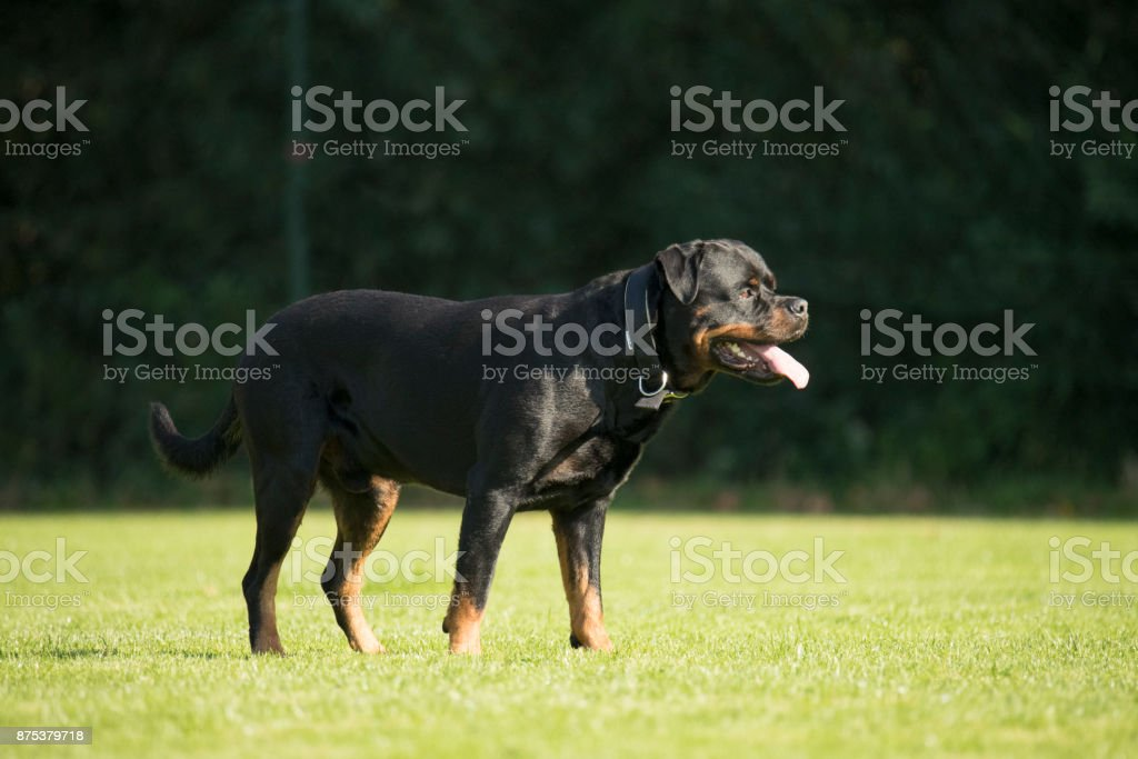 Dog, Rottweiler, standing on grass, tongue out stock photo