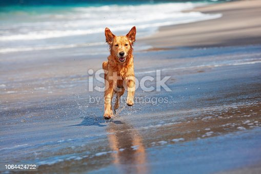 Photo of golden retriever walking on sand beach. Happy dog wet after swimming run with water splashes along sea surf. Actions, training games with family pets and popular dog breeds on summer vacation