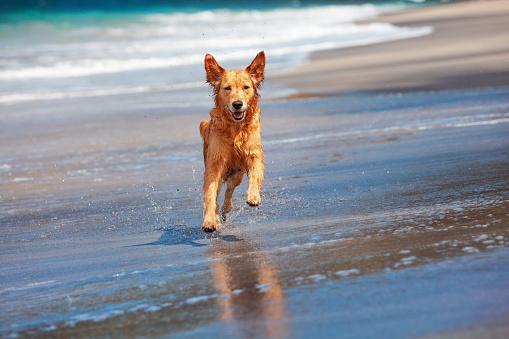 Dog run by sand beach along sea surf