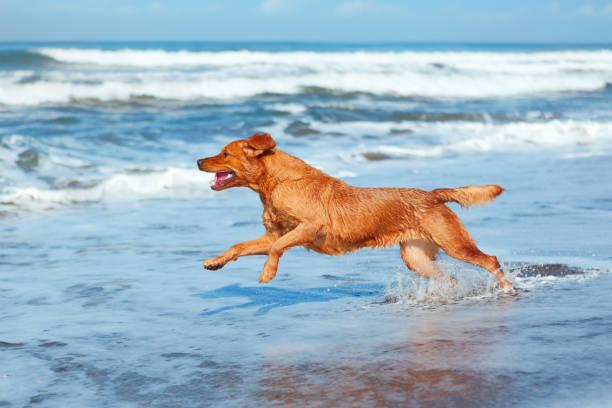 Dog run by sand beach along sea surf picture id638523288?b=1&k=6&m=638523288&s=612x612&w=0&h=pzua2 ickwga1gh7ddfkyfglzgiuzvwoi5owl6o3 di=
