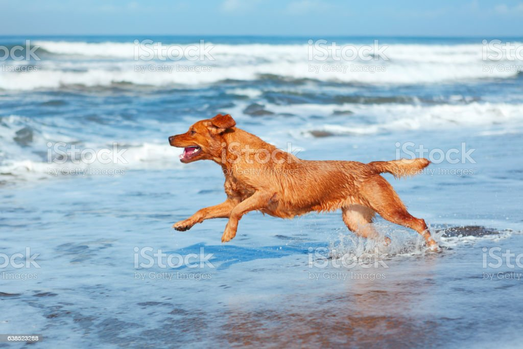 Dog run by sand beach along sea surf – Foto