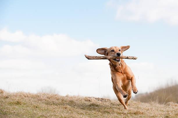 Dog running across grass field with branch in mouth picture id182519529?b=1&k=6&m=182519529&s=612x612&w=0&h=byrhxw62dund w xjbfjskuh4yzyv3uwbu 63c5asfc=