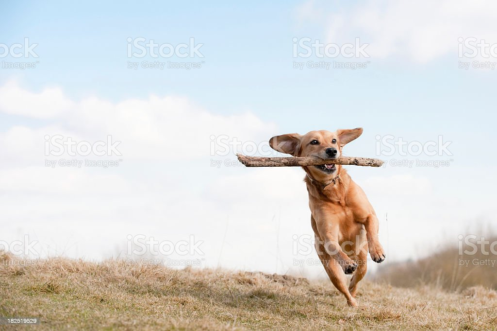 Dog running across grass field with branch in mouth stock photo