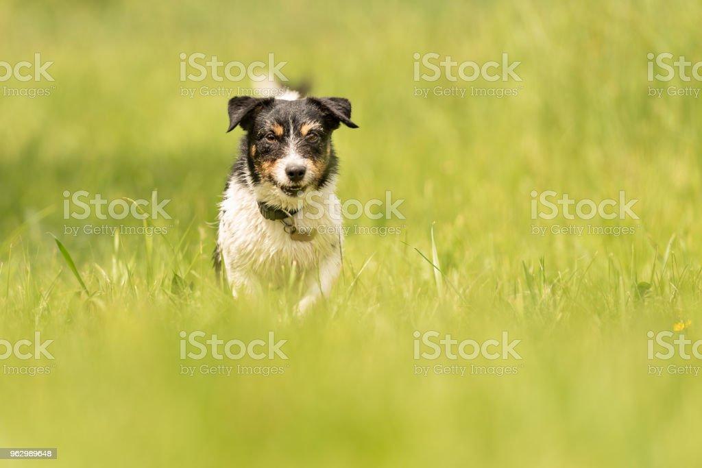 Hund läuft über die Wiese - süße Jack Russell Terrier 3 Jahre alt – Foto