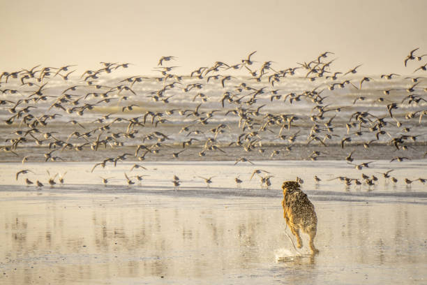 Dog running after birds German Shepherd Dog chasing sea birds on beach dog and bird stock pictures, royalty-free photos & images