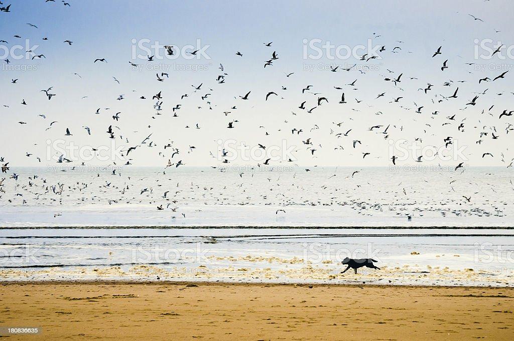 Dog running along coastline royalty-free stock photo