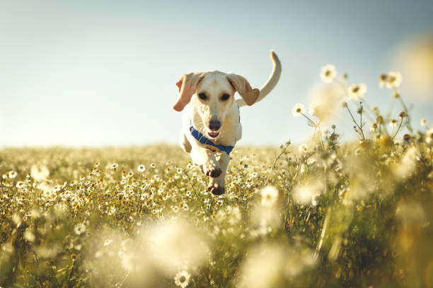 a dog running and jumping - dog jumping stock photos and pictures