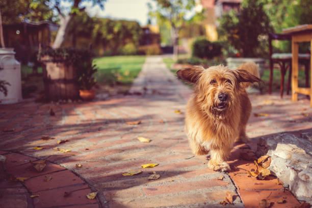 hond draait op het terras van de achtertuin - dog looking at floor path stockfoto's en -beelden