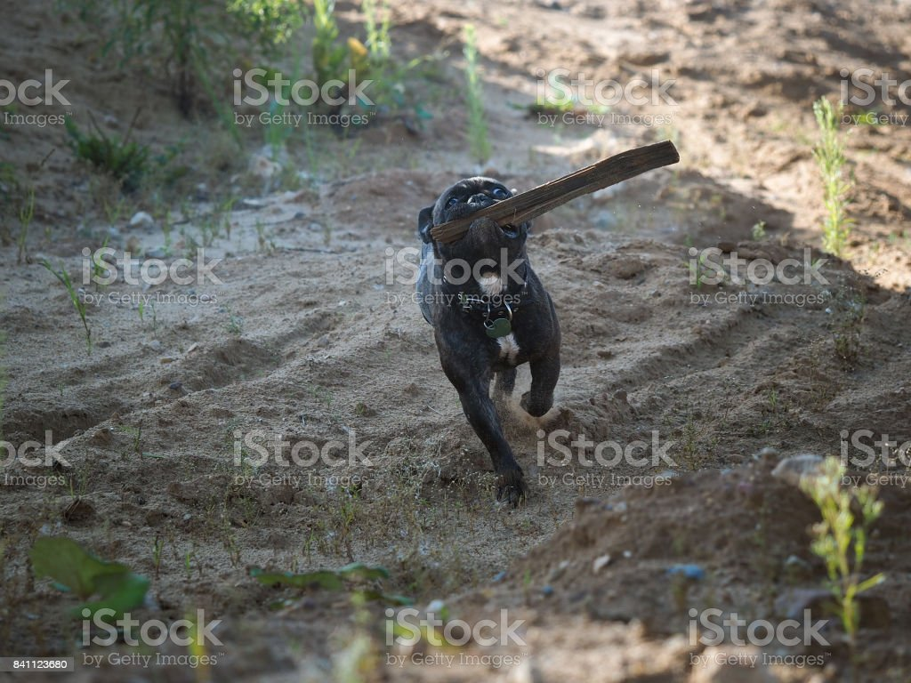 Dog running fast with a stick in his mouth. French bulldog stock photo