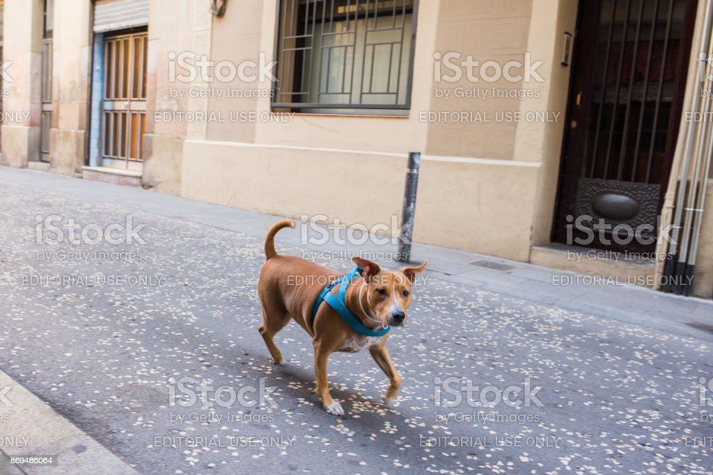Dog running free in Gracia, Barcelona stock photo