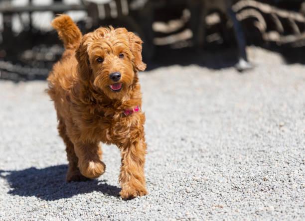 Dog running in dog park stock photo