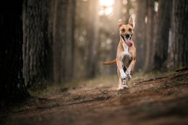 Dog running in the forest stock photo