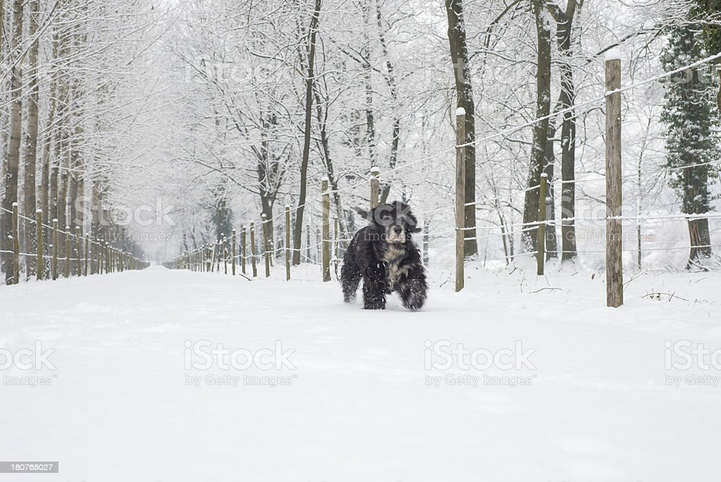 Dog running in the snow royalty-free stock photo