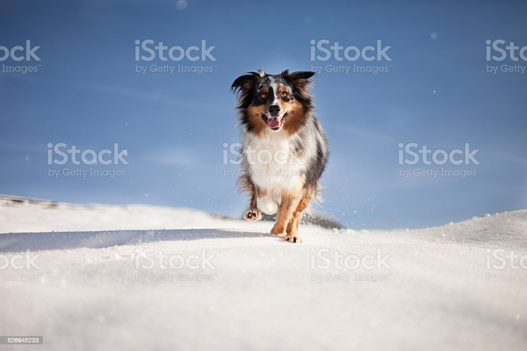 Dog running in the snow stock photo