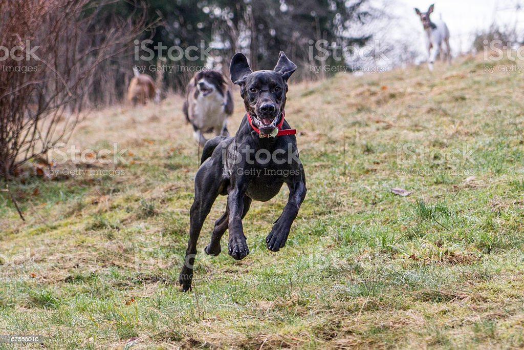 Dog running off leash stock photo