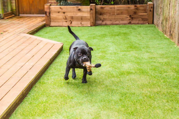 Dog running on artifical grass by decking with a toy in his mouth Black Staffordshire bull terrier dog running and playing on artificial grass by decking in a residential garden or yard. he has a soft toy tiger in his mouth. turf stock pictures, royalty-free photos & images