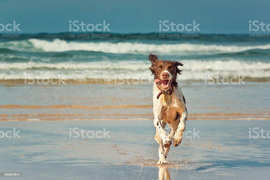 Dog running on beach royalty-free stock photo