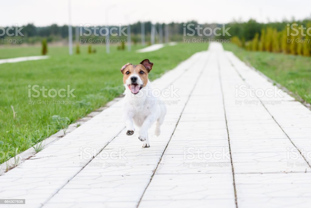 Dog running on camera by tiled road going to vista stock photo