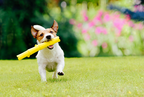 Dog running on summer lawn fetching toy stick