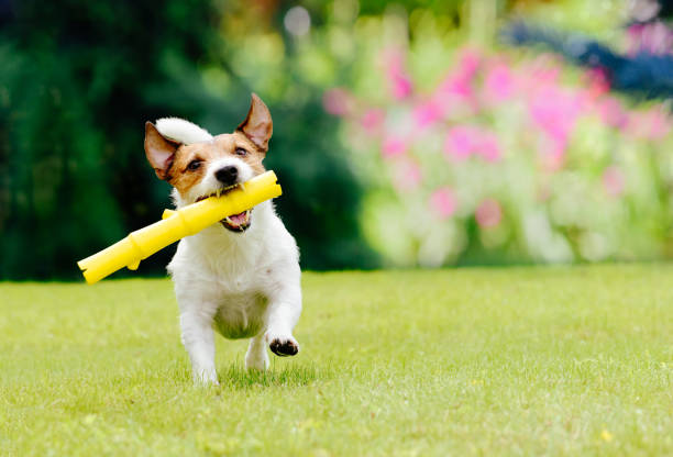 Dog running on summer lawn fetching toy stick picture id697960954?b=1&k=6&m=697960954&s=612x612&w=0&h=d00feglqqgj9 ffviu wcmi3o41ilroqdizc3dsvj5q=
