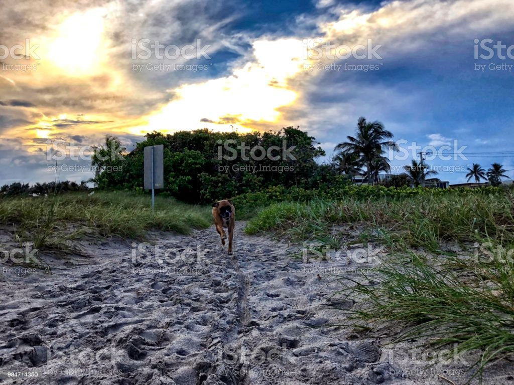 boxer dog runs towards the camera on a sand path in the dunes of a...