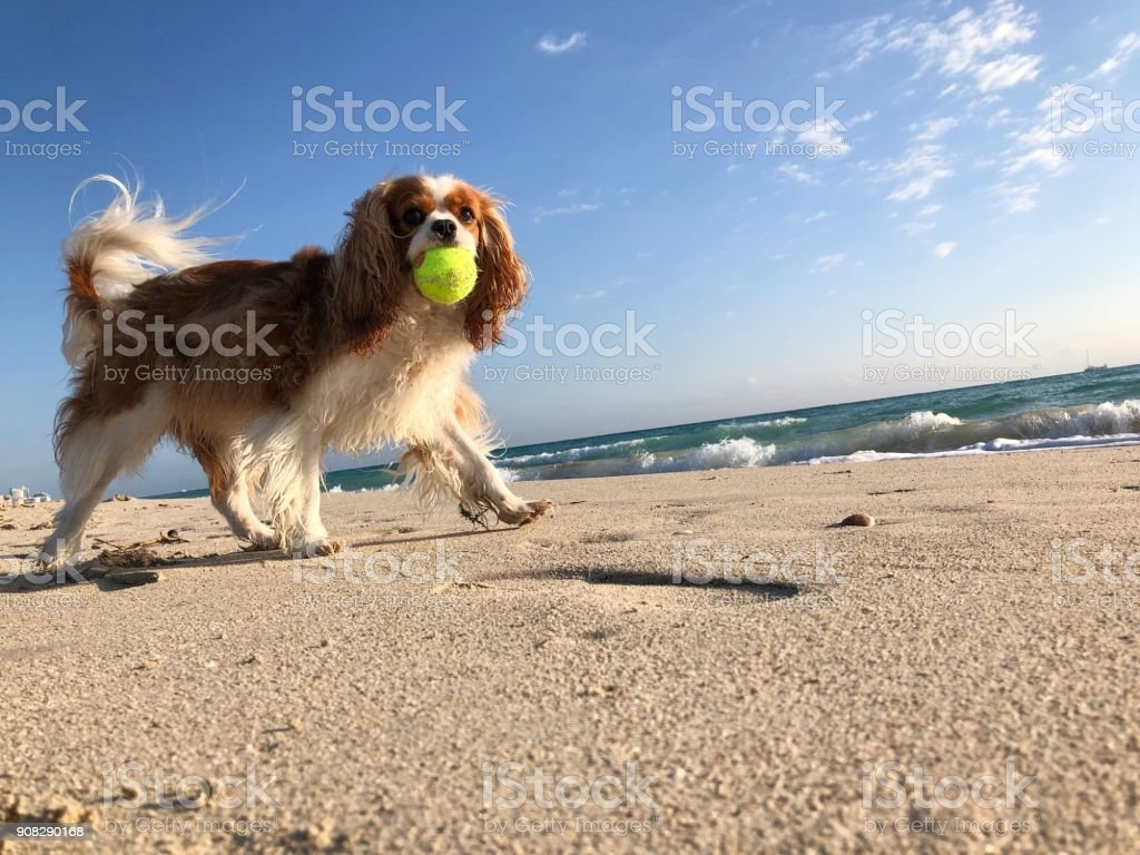 Happy Cavalier King Charles spaniel running with a tennis ball in his...