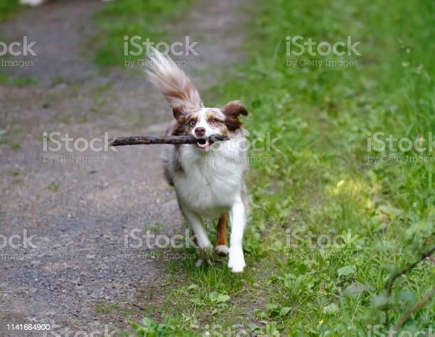 Dog running on the grass picture id1141664900?b=1&k=6&m=1141664900&s=612x612&h=sze0vw805rxzuno9ctzd7pkjtskexxib zkfhesta4k=