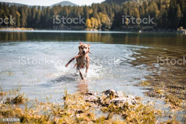 Dog running on the lake picture id918732938?b=1&k=6&m=918732938&s=612x612&h=ayctbixyvdupuheoeostinawh7ladgkdsfk7ptg8gok=