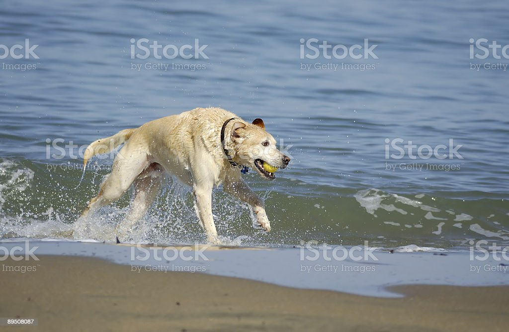 Dog running out of San Francisco Bay 5 royalty-free stock photo