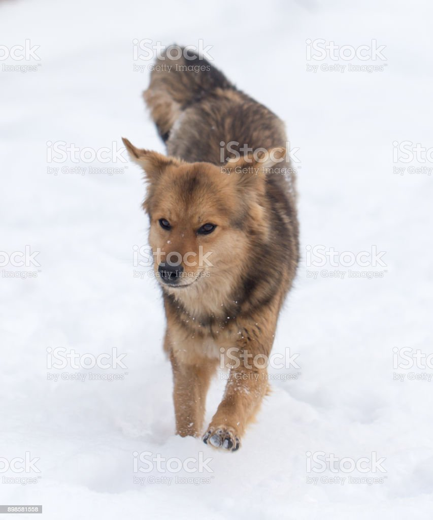 dog running outdoors in winter stock photo
